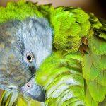 Senegal-Papageien